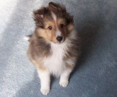Collie puppy, d'awwwww