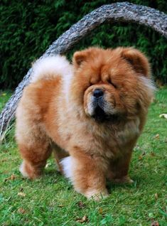 my next dog. Brutres Mortimer Baby Puppies, Cute Puppies, Cute Dogs, Dogs And Puppies, Doggies, Chao Chao Dog, Lion Dog, Dog Cat, Big Dogs