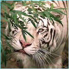 White Bengal Tigers