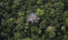 Half of tree species in the Amazon at risk of extinction, say scientists
