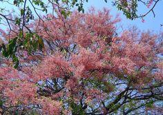 Cássia rosa Cassia grandis