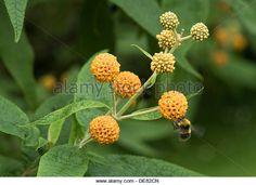 orange ball buddleja, Buddleja glabosa, large flowering shrub with bumble bees attending - Stock Image