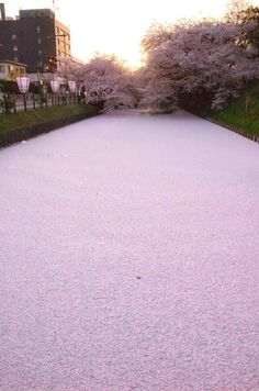 A sea of cherry blossom petals float along the moat surrounding Hirosaki Castle in Aomori, Japan. The park is famous for its cherry blossoms Photoshop, Images Cools, Beautiful World, Beautiful Places, Dead Gorgeous, Stunningly Beautiful, Wonderful Places, Beautiful Flowers, Cherry Blossom Petals