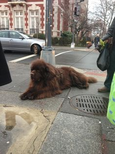 Saw a bear loose in DC yesterday (imgur) I WANT ONE!!!!