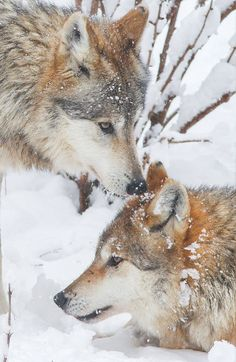Wolves play in the snow. Photo: Mark Dumont.