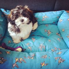 Arne loving his big #joules bed #shichon #puppy