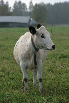 Lapinlehmä - Northern Finnish cattle