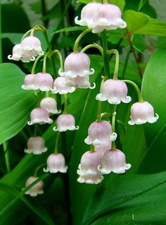 Pink lily of the valley . . . delicate and sweet