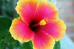 Lindo, não? Hibisco com degradê! #hibisco #flores #iloveflores http://iloveflores.com/flor-de-hibisco-fotos-significado-imagens-cultivo-dicas/