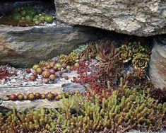 Succulents and Sedums | Sempervirens | Rock Garden
