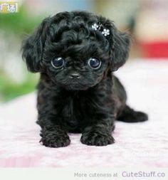 Aww so cute & little! #Puppy #Tiny #Toy