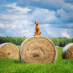 """2,010 Likes, 55 Comments - Whiskey The Vizsla (@mywhiskeygirl) on Instagram: """"Bouncing off bales of hay in the middle of the province. I said hi to the sheep, cows and horses…"""""""