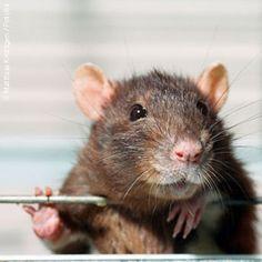 Süße Ratte, ein Haustier