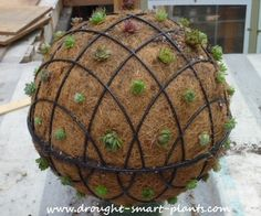 Two coir lined hanging baskets made of wire, filled with soilless mix, and covered in hardy succulents like Sempervivum or Jovibarba makes a unique and intriguing focal point.  There is something about balls and spheres, whether they're topiary or wire, that makes a great punctuation mark in the garden.