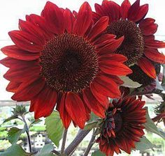 Red sunflowers/ATTRACTS: Hummingbirds.