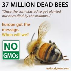 Are GMOs Killing the Bees?