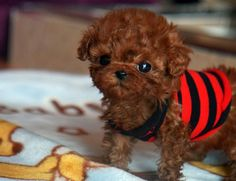 Teacup puppy...you guys I found my future pet! :)