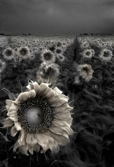 Dark Wildlife Photography | Black and White Sunflowers - The Nature, Wildlife and Pet Photography ...
