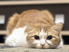 L-lysine is a dietary supplement given to cats affected by the feline herpes virus. Know more about lysine usage, dosage, as well as side effects in this article. Cute Cats And Kittens, Kittens Cutest, Kitty Cats, Cats Tumblr, Sick Cat, Cat Whisperer, F2 Savannah Cat, Munchkin Cat, Cat Signs
