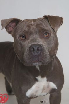 Dog for adoption - Fenrir, a Pit Bull Terrier Mix in Harvey, LA | Petfinder Pitbull Mix Puppies, Chihuahua Terrier Mix, Dachshund Mix, Bull Terrier Mix, Pitbull Terrier, Chihuahua Dogs, Husky Pet, Brindle Boxer, Dog Pictures