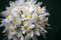 bouquet-di-iris-bianchi1