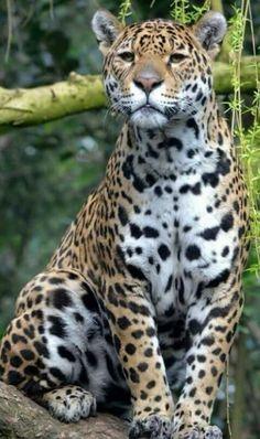 1704 melhores imagens de ANIMAIS SELVAGENS   Big cats, Wild animals ... bc488ea7ef