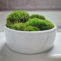 A simple, serene moss terrarium that I keep in the shower (album in comments with macro photos). • /r/terrariums