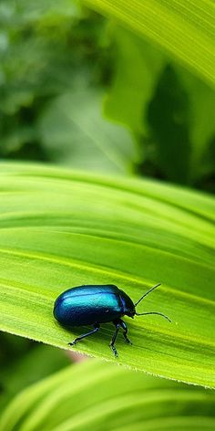About Wild Animals: Alder leaf beetle Leaf Beetle, Beetle Insect, Beautiful Creatures, Animals Beautiful, Wild Animals, Cute Animals, Manoj Kumar, Nature Story, Nature