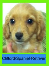 ADOPTED. Clifford is an adoptable Cocker Spaniel Dog in Long Beach, CA. Clifford was being given away in front of a Food for Less along with his siblings. He's a sweet little boy who'd love to meet you. Call 3...