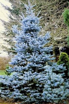 Baby Blue Eyes Spruce Semi Dwarf Blue Spruce For Front