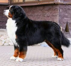 Bernese Mountain Dog - Tap the pin for the most adorable pawtastic fur baby apparel! You'll love the dog clothes and cat clothes! <3