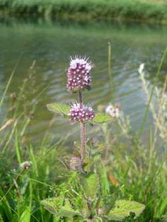 Watermunt - wildebijen.nl - Insectenplanten.nl