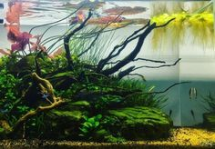 with multiple floating leaves. Let's get ready for iaplc! Diskus Aquarium, Fish Aquarium Decorations, Hello To Myself, Plantar, Source Of Inspiration, State Art, Aquascaping, Leaves, Lotus