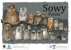 Owls in poland