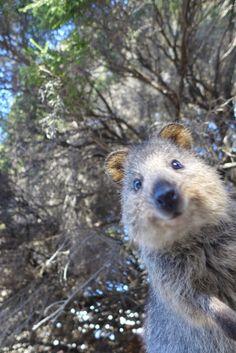 Quokka Source by solabadd Happy Animals, Animals And Pets, Funny Animals, Cute Animals, Cute Creatures, Beautiful Creatures, Animals Beautiful, Australia Animals, Garden Animals