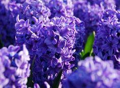 Google Afbeeldingen resultaat voor http://www.bloembollencentrum.nl/ibc/imageset/h/hyacinthus/hyacinthus1.xml%3Fsize%3Dlarge