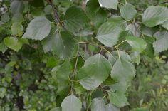 Hieskoivu on Suomen yleisin lehtipuu