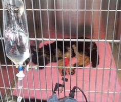 #Dogs Coco - Surviving Is My Dream. Coco young #gsd on a drip