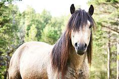 Norwegian dole horse stallion