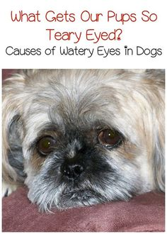 Wondering what's behind Fido's teary eyes? Check out the most common causes of watery eyes in dogs and how they're treated!