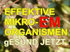 EM effektive Mikroorganismen-total spannend und GESUND!!! - YouTube