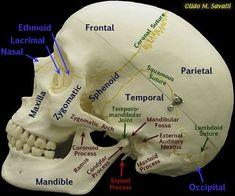 Side of skull labeled Anatomy Bones, Skull Anatomy, Dental Anatomy, Medical Anatomy, Human Body Anatomy, Human Anatomy And Physiology, Dental Hygiene School, Nursing School Notes, Medicine Student