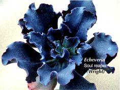 Echeverias, the Loveliest of Succulents