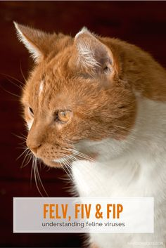 What do these three feline viruses have in common? We discuss signs, diagnosis, treatment and prevention | Understanding Feline Viruses: FeLV, FIV, and FIP