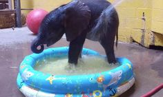 Baby elephant cools down in children's paddling pool