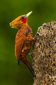 The Chestnut-coloured Woodpecker - Celeus castaneus, is a species of  bird in the Picidae family. Its natural habitat is subtropical or tropical moist lowland forests.  Photo by Bill Holsten.