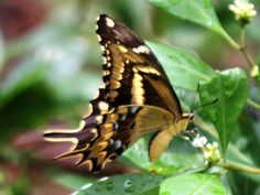 Schaus' Swallowtail Butterfly:  These Florida buterflies are disappearing! There are only a few dozen left!