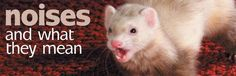 Ferret Vocalization: Noises and What They Mean
