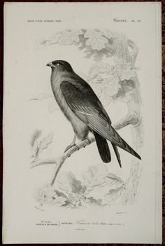 1849 Antique print of a FALCON. Falcons. by TheOldPrintsCabinet