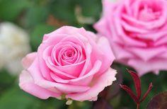 Rose - Rose Festival